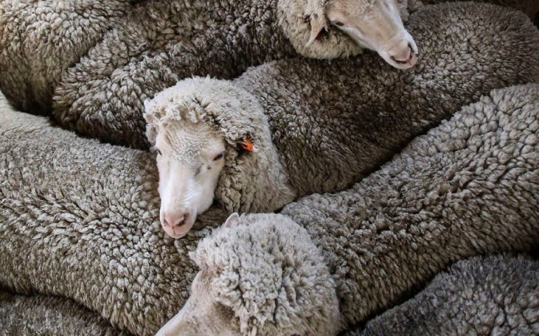 australian merino wool fleece